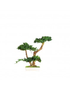 Bonsai Juniperus 50cm