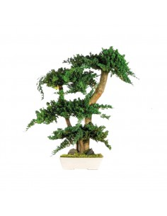 Bonsai Juniperus 70cm