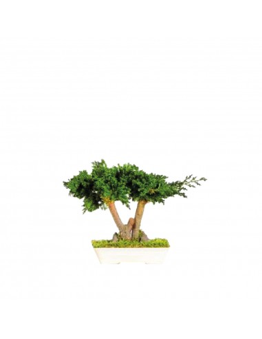 Bonsai Juniperus 15cm
